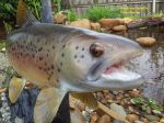 Brown Trout Mount