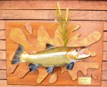 Male brown trout/ taxidermy