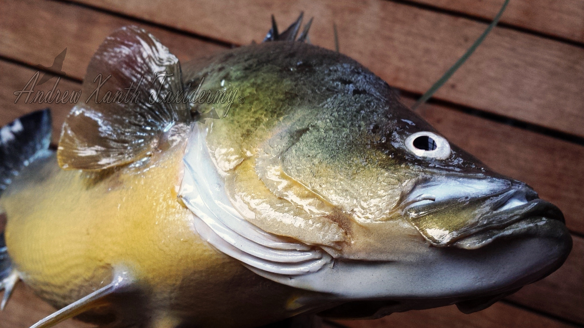 how to catch golden perch